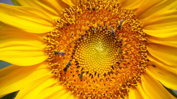 Image of Mammoth gray-stripe sunflowers provide food for large amounts of pollinators when flowering and songbirds from the seeds produced.