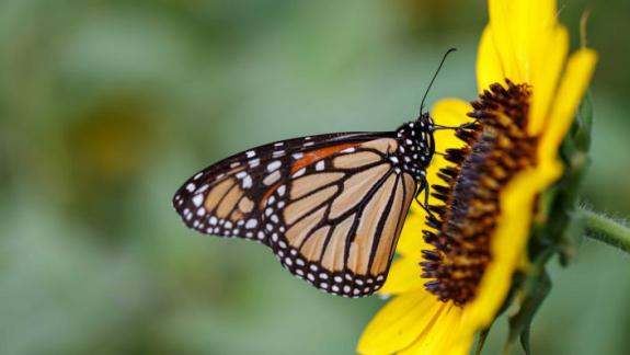 Image of Monarch nectaring on an autumn beauty sunflower in a backyard wildflower meadow.