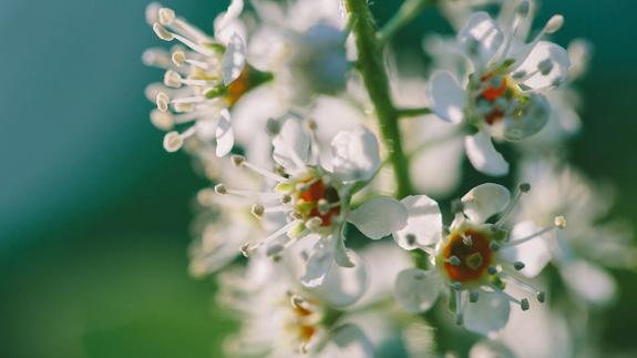 Image of Black cherry tree flowers are an important food source for native bees in spring months.