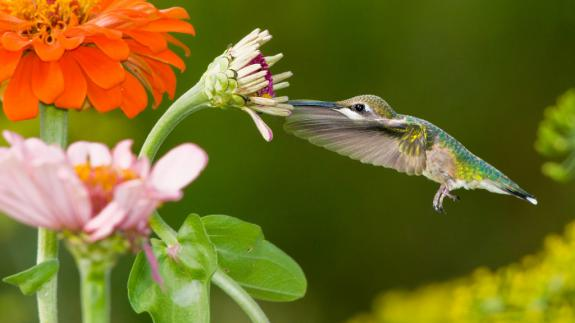 Image of Ruby throated hummingbird feeds on nectar produced by zinnias.