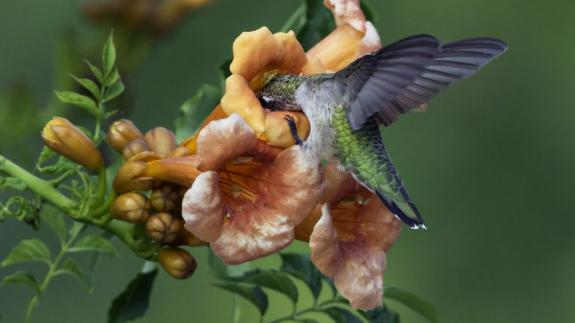 Image of Trumpet vine is an important natural food source for hummingbirds.