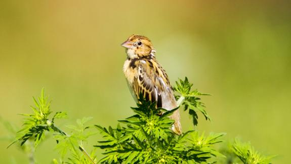 Image of A female Bobolink.
