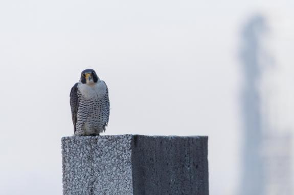 Image of The tiercel watched as we cleaned off the lens cover of the PTZ camera.