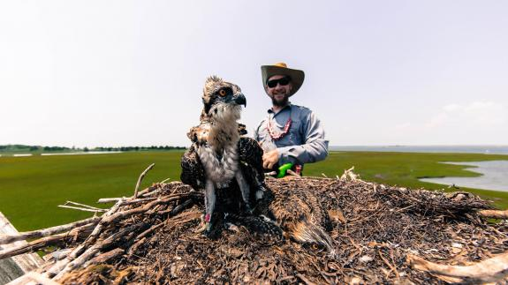 Image of CWF's Ben Wurst prepares to band a young osprey produced at a nest off Long Beach Island, Barnegat Bay, NJ. This one of 66 young that were banded with a red auxiliary band as part of Project RedBand, an osprey resighting project.