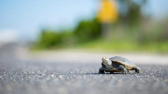 Image of An adult female terrapin crosses Great Bay Blvd.