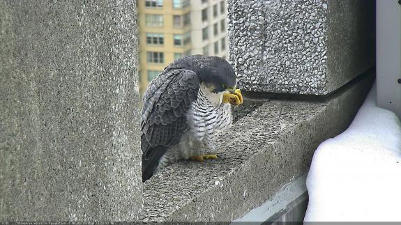 Image of Juliet preens on the ledge outside of the nestbox atop 101 Hudson St.