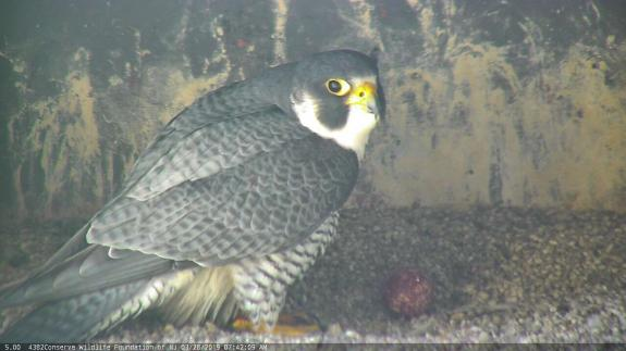 Image of The tiercel checks out the first egg which was laid overnight on 3/28-29. The second egg should be laid tomorrow and they won't start incubating until the full clutch is laid.