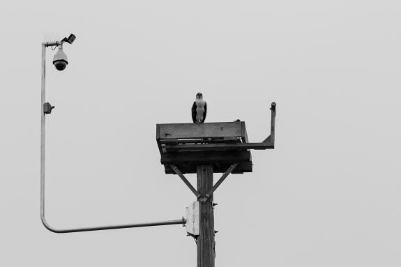 Image of The new osprey cam installed on the tall nest platform in Barnegat Light. April 5, 2019.