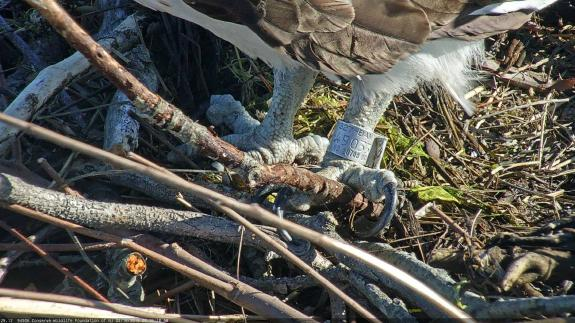 Image of The suffix of the USGS bird band (49033) allowed us to identify the breeding male at this nest.