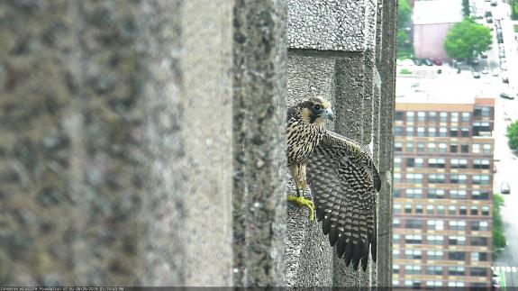 Image of BM/17 making her way back to the nestbox area of the roof.