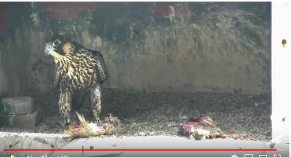 Image of BM/13 taking a look around the nest site after her return.
