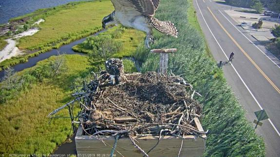 Image of The first flights of young osprey occur right over the nest, as they spread their wings, jump and flap to lift off!