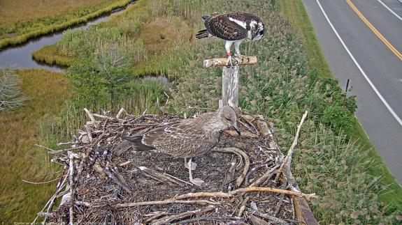 Image of 46/K stands her ground and defends her nest to an immature gull!
