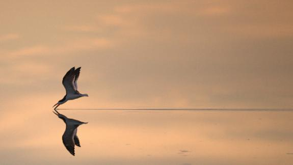 Image of A black skimmer skims the water surface in search of prey.