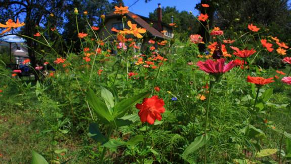 Image of A small wildflower bed is established in a homeowners backyard to provide food for butterlifes and hummingbirds.