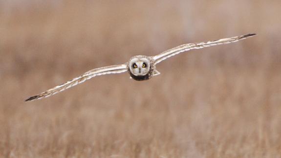 Image of A Short-eared owl flies over the saltmarsh.