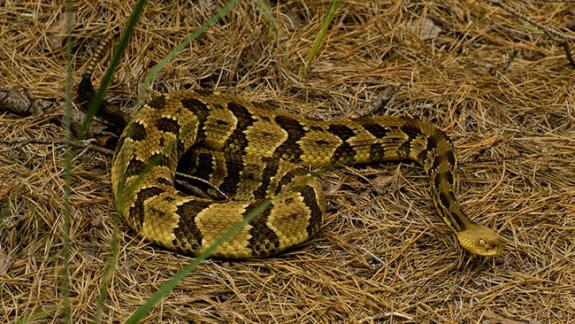 Image of Timber rattlesnakes are very passive and will only strike when they are disturbed or threatened.