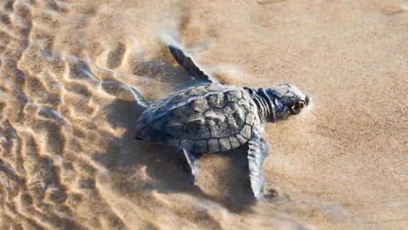 Image of Kemp's ridley sea turtle hatchling.