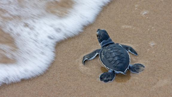Image of Green sea turtle hatchling.