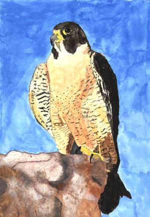 Image of 2010 Species on the Edge Art and Essay Contest winner. Peregrine falcon.