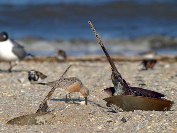 Image of A red knot and a horseshoe crab on a Delaware Bay beach.