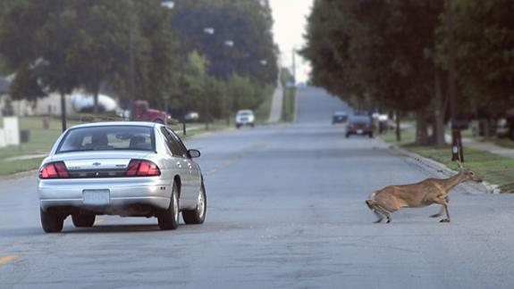 Image of Roads can be seen as barriers to wildlife. Not only to vehicles kill innocent wildlife, but wildlife can cause vehicle accidents that can injure people as well.