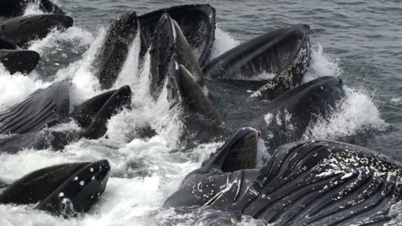 Image of A group of humpback whales feeding.