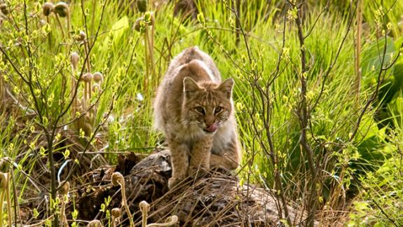 Image of The elusive bobcat is spotted in its native habitat.