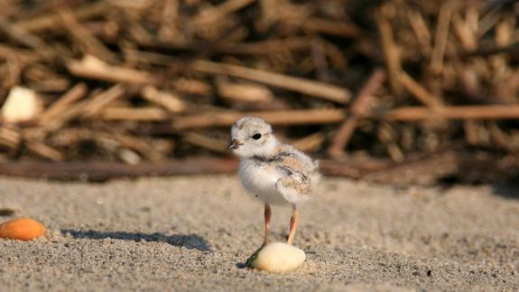 Image of A piping plover chick can find food on the beach within hours of hatching.