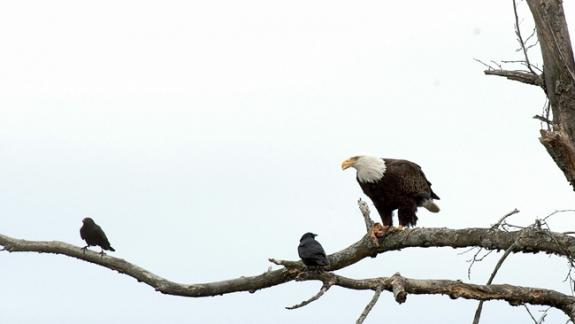 "Image of Bald eagles are often ""mobbed"" by crows."