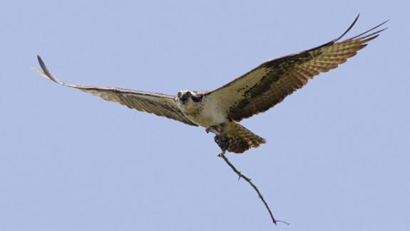 Image of An adult osprey flies back to its nest while carrying a stick.