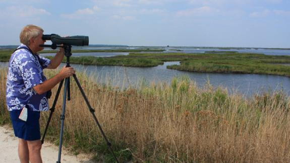 Image of A birder identifies a juvenile black skimmer from a distance at Forsythe NWR.