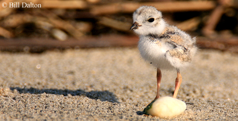 A piping plover nestling.