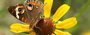Image of Butterfly on flower - bridge pano 290x114