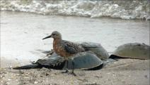 Image of Red Knot and HSC