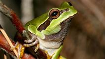 Image of Pine Barrens treefrog cropped