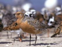 Image of Red knots (Calidris canutus) are a medium-sized shorebird. They have dark legs and a thin, dark bill. Sexes are similar with a distinctive salmon to brick red coloration on their face, neck, and breast.
