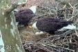 Multimedia of Duke Farms EagleCam - Incubation exchange - March 30th: Male arrives at nest to relieve female from incubation duties, while she doesn't really want to leave.