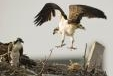 Osprey population soars with a little human help