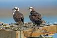 Conserve Wildlife to Replace Osprey Platforms Lost in Superstorm Sandy
