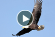 Multimedia of Bald EagleCam: Located on Duke Farms in central New Jersey, the EagleCam allows viewers an up close and personal view into the lives of a pair of bald eagles as they breed, incubate, and raise young.