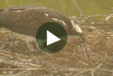 Multimedia of Osprey Cam - Feeding three chicks!: There are now three chicks that are 1-3 days old. The first hatched on 5/25, the second on 5/26 and the third on 5/28. >>Watch the live cam!