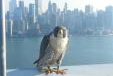 New Jersey Wildlife: The Peregrine Falcon