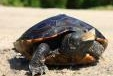 Conserve Wildlife Foundation Takes Steps to Protect Terrapins from Cars