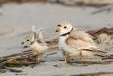 Piping Plovers Thrive in New Jersey in 2010 Despite the Odds