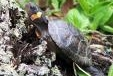 Multimedia of Bog turtle habitat restoration in New Jersey: Bog turtles, the smallest turtles in North America, are listed as threatened under the Endangered Species Act. Brian Zarate works to help restore habitat for bog turtles in northern New Jersey.