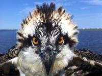 Image of A juvenile osprey stares down biologist Ben Wurst as he prepares to place a leg band on it for future tracking.