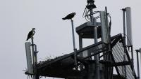 Image of osprey nest on cell tower